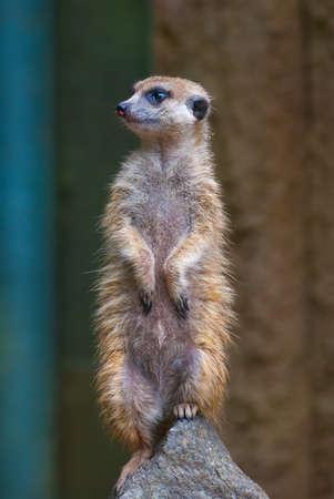 suricate: Standing Suricate