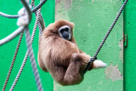 biped: Lar Gibbon, Hylobates lar