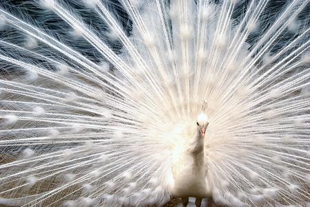 nobles: peacock Stock Photo