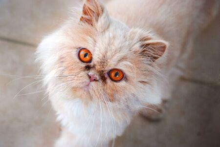 persian cat: Persian Cat Glance Stock Photo