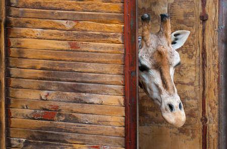 girafe: Rothschild Giraffe, Giraffa camelopardalis rothschildi, Head Stock Photo