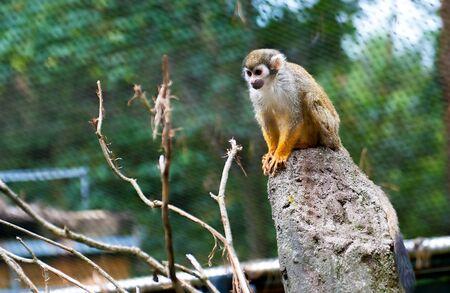 sciureus: Common Squirrel Monkey, Saimiri sciureus