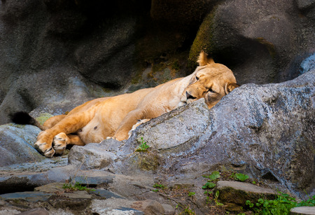 dormant: Dormant Lioness in zoo