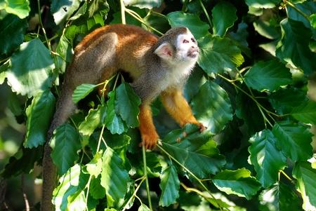 sciureus: Squirrel Monkey