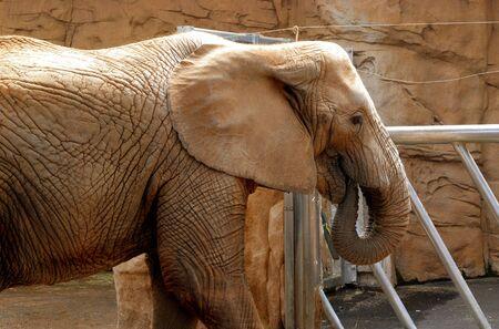 herbivore natural: elephant in zoo