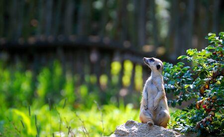suricate: Guarding suricate Stock Photo