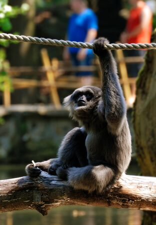 bonobo: Monkey on branch Stock Photo