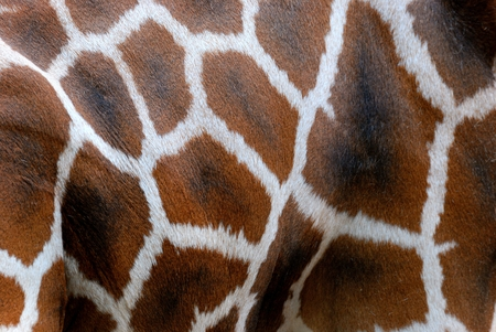 cute giraffe: Rothschild Giraffe, Skin Stock Photo