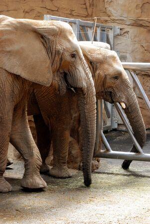 herbivore natural: elephant