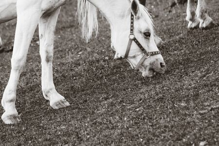 Horse on Pasture, Sepia Color