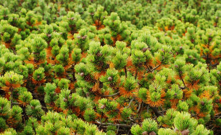 limber: Limber Pine Tree Background
