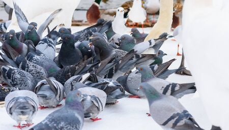 pidgeon: Feeding Pigeons in Winter, Swans and Seagulls in Background Stock Photo