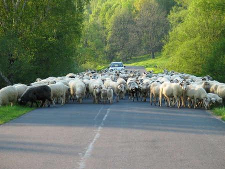 Moutons sur la route Banque d'images - 2645829