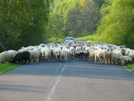 road block: sheep on the road Stock Photo