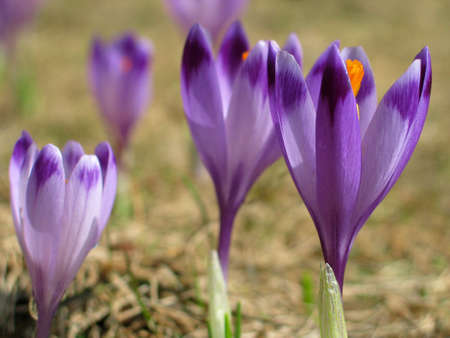 spring crocus photo