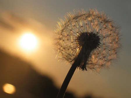 Pissenlit au coucher du soleil Banque d'images - 3084711