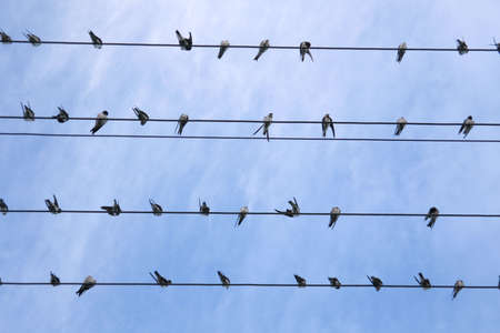 Swallows on electric wires photo