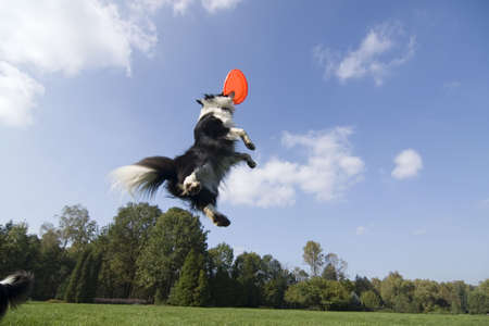 Border collie playing Stock Photo