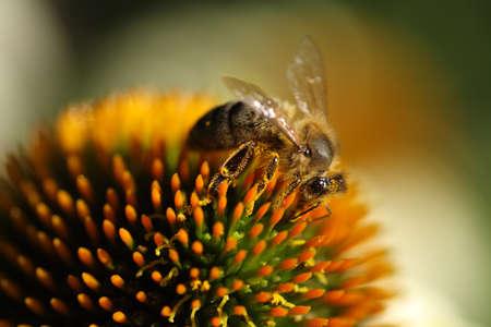 Une abeille recueille pollen  Banque d'images - 7950376