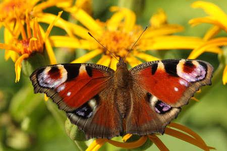 Peacock papillon sur une fleur jaune  Banque d'images - 7950377