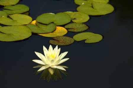 White water lilly sur un étang Banque d'images - 7950373