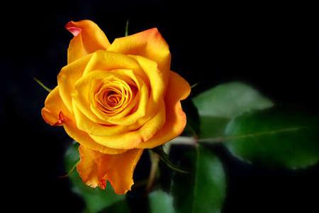 Près de blooming jaune rose  Banque d'images - 7950379
