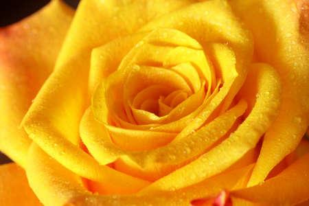 Près de blooming jaune rose  Banque d'images - 7950382