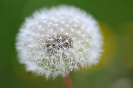 pappus: abstract background dandelion
