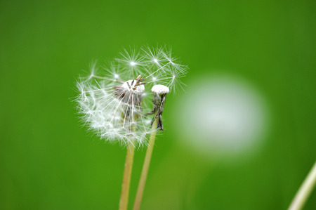 pappus: abstract dandelion