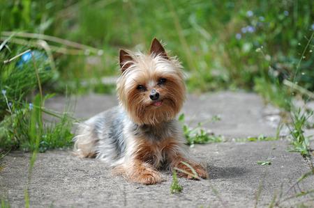 little dog breed Yorkshire photo
