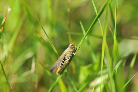 green grasshopper sits on a blade of grass