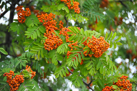 rowan tree: bunches of Rowan tree Stock Photo