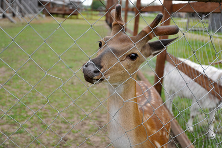 behind bars: the little deer in the pavilion behind bars Stock Photo