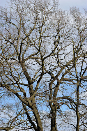 without: branches of the oak without leaves against the sky