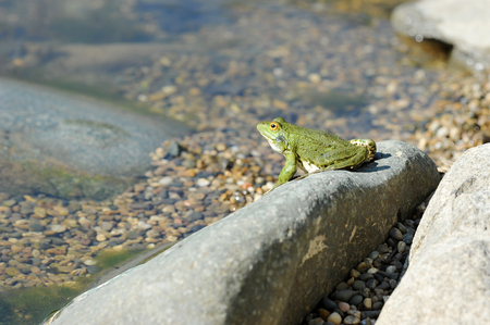 green lake frog basking on a rock - side view