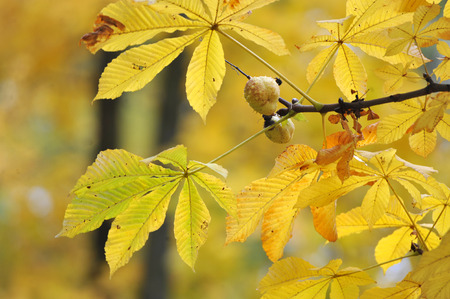yellow autumn maple leaves and chestnuts on a branch 免版税图像