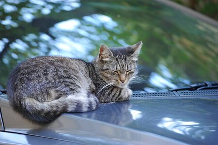 cat resting on the hood of the car - the cat with his eyes closed lies