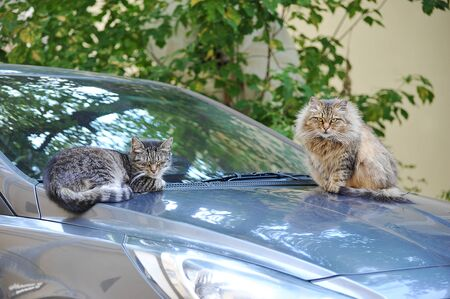cat and cat sitting on the hood of the car - cat wedding