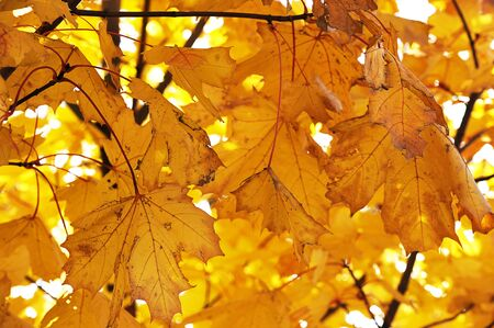 yellow maple leaves - autumn leaf fall Zdjęcie Seryjne