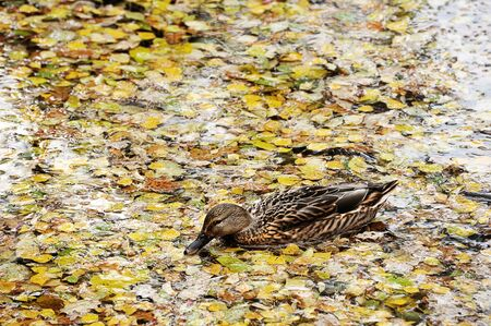duck swimming in a pond with autumn leaves Zdjęcie Seryjne