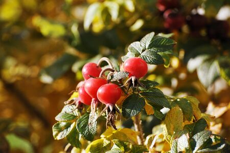 red rosehip fruit - autumn shrub with red berries�¼�¼�¼�¼ Stockfoto