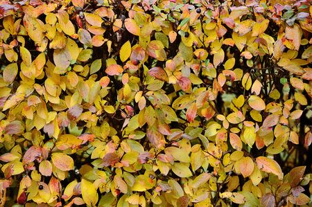 trimmed shrub-autumn background of autumn leaves