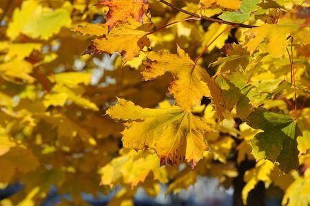 autumn background - yellow maple leaves Zdjęcie Seryjne