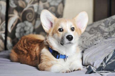 cute pembroke welsh corgi dog Stock fotó