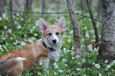 Welsh Corgi Pembroke sitting on the grass in the spring forest