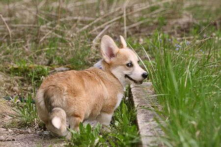 Pembroke Welsh Corgi with a tail walks along a path with green grass