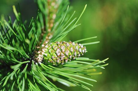 green cone on the tree - close up