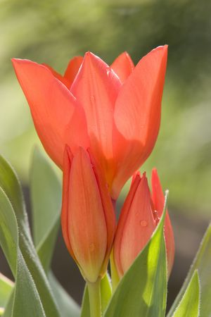 beautiful red tulip with some water droplets photo