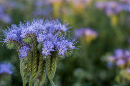 Phacelia, herbaceous bush of the family, honey plant, green manure. Close-up.