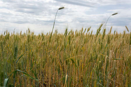 Field of ripening grain, barley, rye or wheat Agriculture.Ukraine Imagens